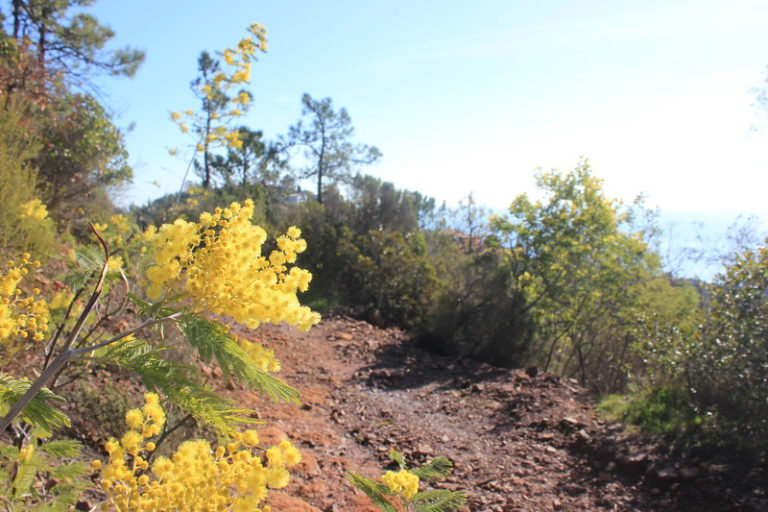 [MANDELIEU]: Randonnée mimosa au Col de l'Esquillon
